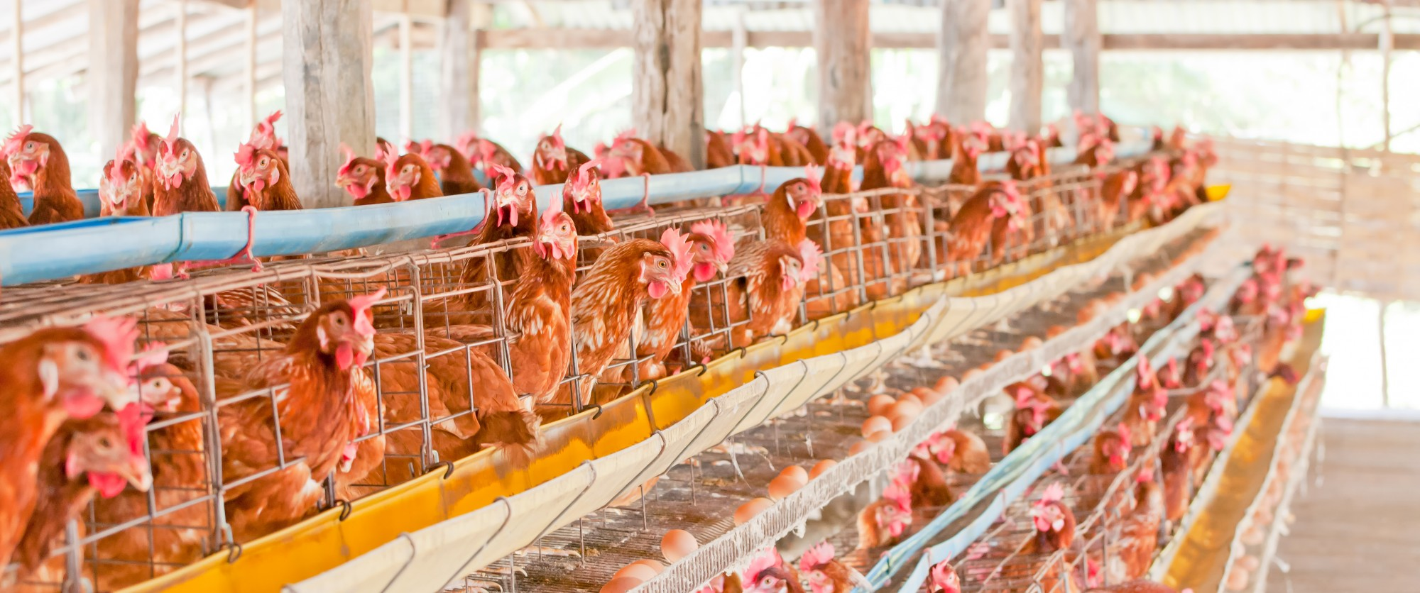 The use of Battery Cages in the Egg Industry