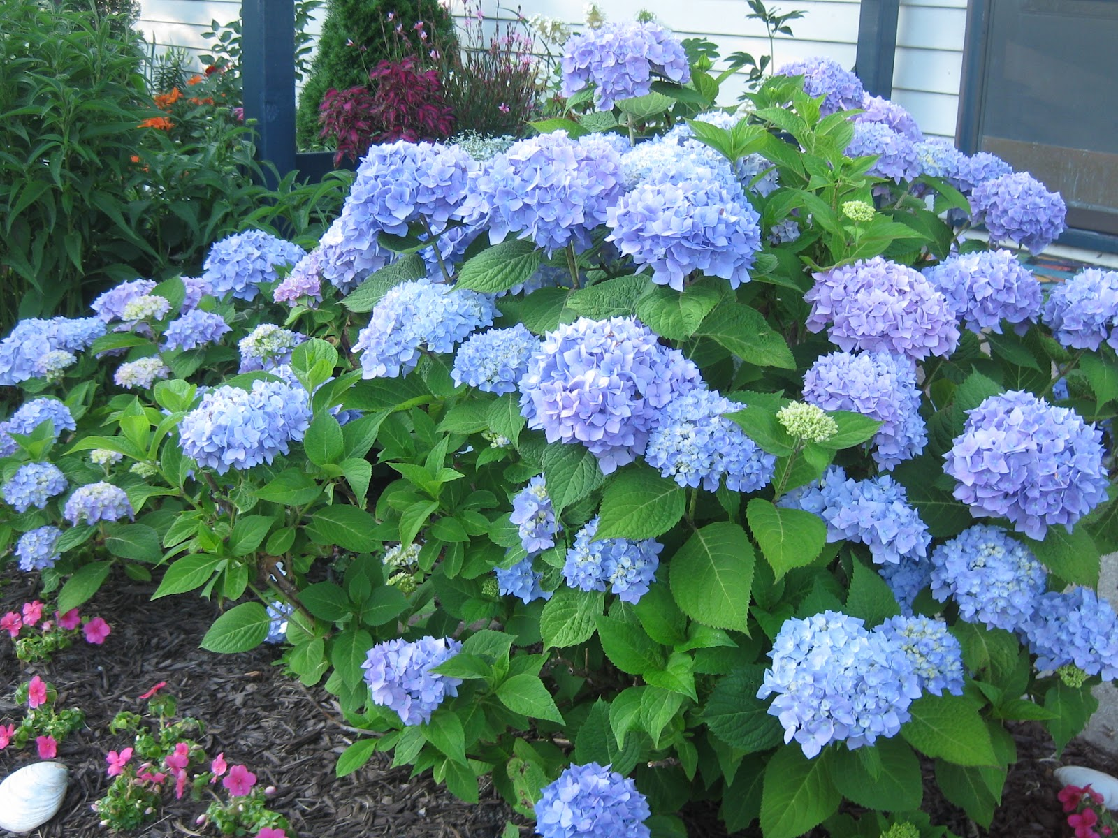 hydrangea macrophylla trees and shrubs. Black Bedroom Furniture Sets. Home Design Ideas