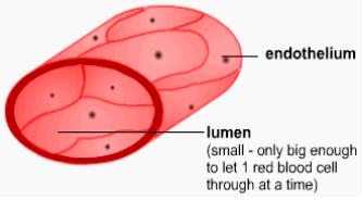 circulatory system part 4 vessels capillary fluid