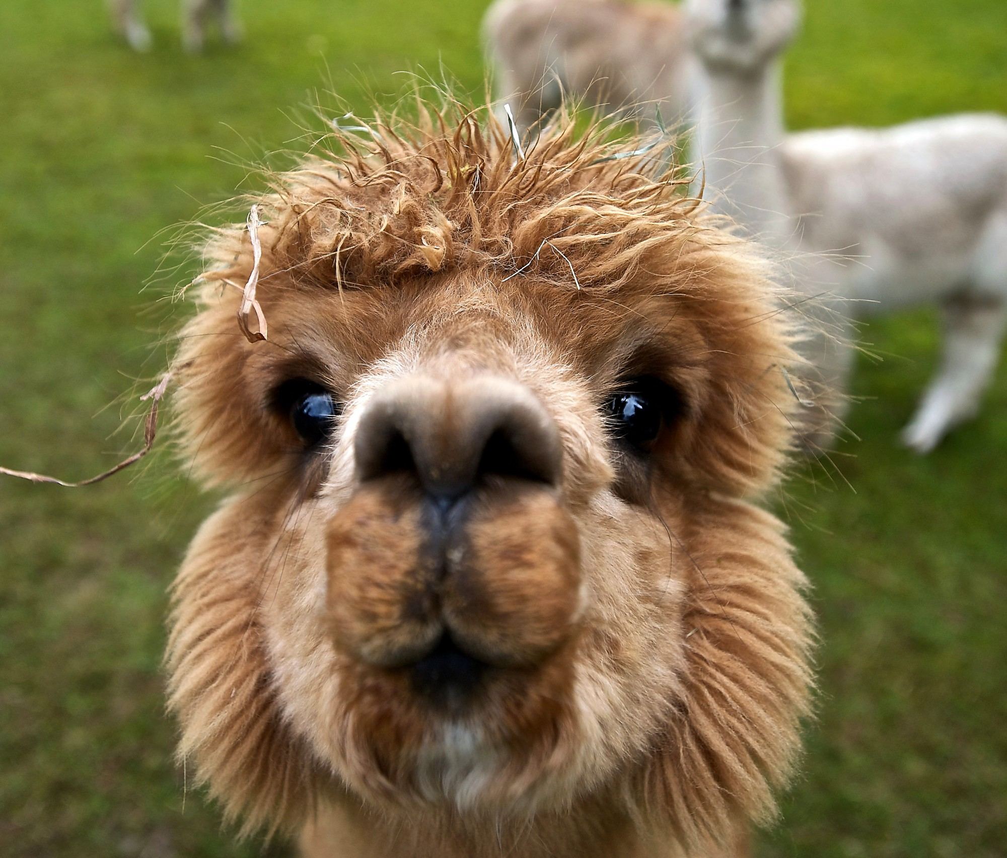 Llama Wallpaper: Not Just Another UBC Blogs Site