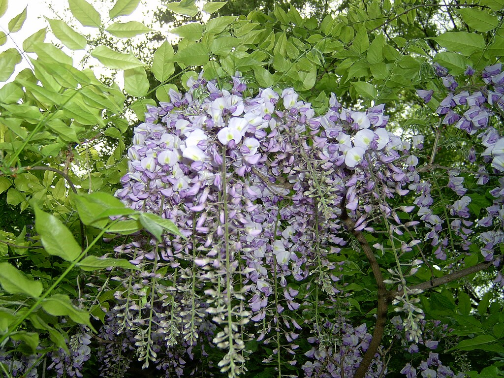 Wisteria sinensis plant i d vancity for The wisteria